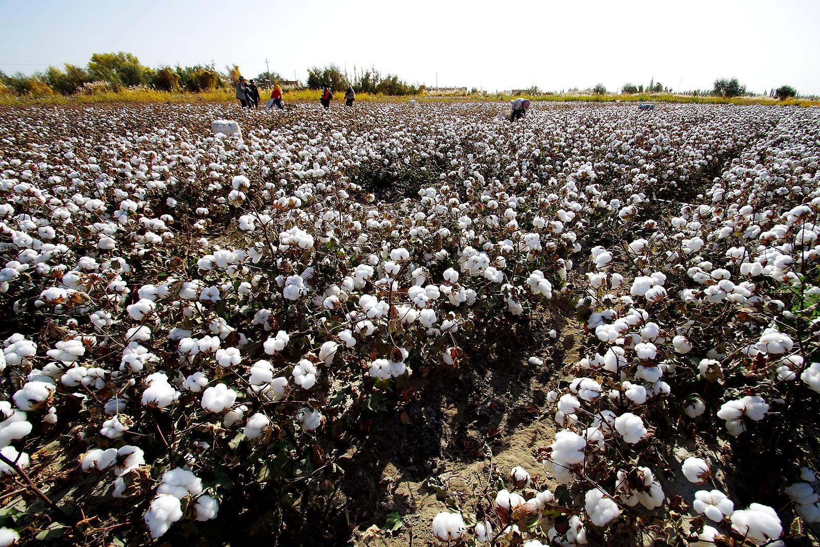 为什么近来南疆手摘棉的询价、成交比较活跃呢?